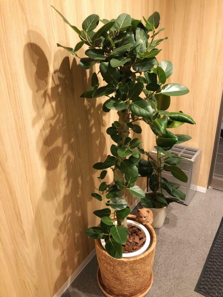 Ficus_bengalensis_1